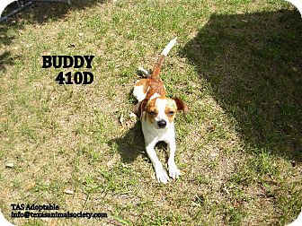 Beagle/Terrier (Unknown Type, Small) Mix Dog for adoption in Spring, Texas - Buddy