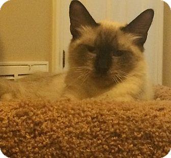 Siamese Kitten for adoption in Houston, Texas - The Dude