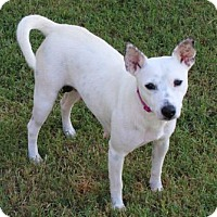 Cattle Dog/Chihuahua Mix Dog for adoption in Brattleboro, Vermont - KINLEY
