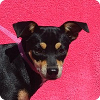 Miniature Pinscher Mix Dog for adoption in Mukwonago, Wisconsin - **YEMA** MEET DEC 17TH!
