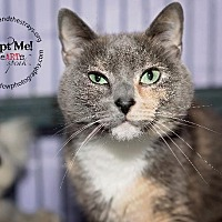 Siamese Cat for adoption in Freeport, New York - Pretty (Kitty)