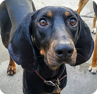 Black and Tan Coonhound/Black and Tan Coonhound Mix Dog for adoption in Chicago, Illinois - Cupcake*ADOPTED!*