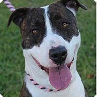 Pit Bull Terrier Mix Dog for adoption in Red Bluff, California - SOFIA