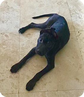 American Bulldog/German Shepherd Dog Mix Puppy for adoption in Miami, Florida - Harley