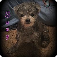 Adopt A Pet :: Suzy - Denver, NC