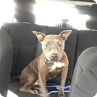 Adopt A Pet :: Blu - Miami, FL