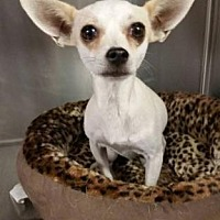 Adopt A Pet :: Taffy - Scottsdale, AZ