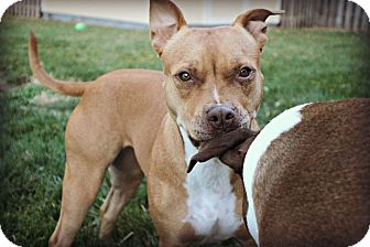 Staffordshire Bull Terrier Dog for adoption in Wymore, Nebraska - Jazzie Mae