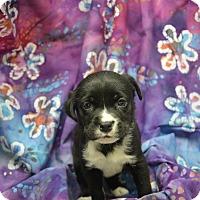 Adopt A Pet :: Godiva (Chocolate Crew) - Alexandria, VA
