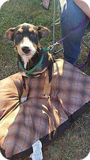 Australian Cattle Dog Mix Puppy for adoption in Huntsville, Tennessee - Marvel