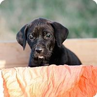 Adopt A Pet :: Liberty $250 - Seneca, SC