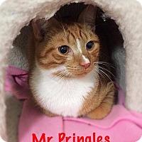 Domestic Shorthair Cat for adoption in York, Pennsylvania - Mr. Pringles