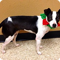 Adopt A Pet :: Maon - Snyder, TX