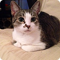 Adopt A Pet :: Kitty Scarlet - Queens, NY