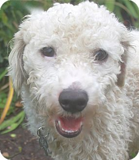 Bichon Frise/Poodle (Miniature) Mix Dog for adoption in Norwalk, Connecticut - Hunter