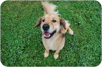 Golden Retriever/Shepherd (Unknown Type) Mix Dog for adoption in White River Junction, Vermont - Mosche