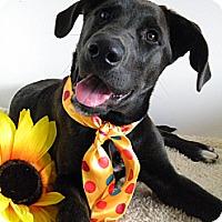 Adopt A Pet :: Blossom - Monteregie, QC