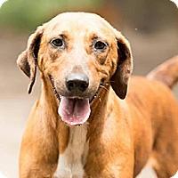 Hound (Unknown Type) Mix Dog for adoption in Havana, Florida - Babe