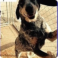 Bluetick Coonhound Mix Dog for adoption in Birmingham, Michigan - COOPER