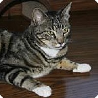 Adopt A Pet :: Mr. Tigger - Mountain Center, CA
