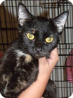 Domestic Shorthair Cat for adoption in Somerset, Kentucky - Tilly
