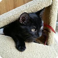 Adopt A Pet :: Pookie - Loveland, CO