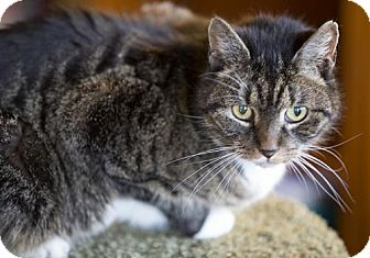 Domestic Shorthair Cat for adoption in Brooklyn, New York - Spike