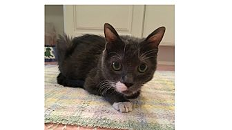 Domestic Shorthair Cat for adoption in Ortonville, Michigan - Mishu