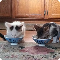 Adopt A Pet :: Luke, Poe, Finn and Anakin - Mission Viejo, CA