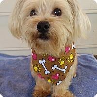Adopt A Pet :: Simba - Lawrenceville, GA
