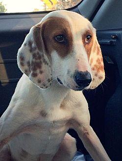 Coonhound Dog for adoption in Charlottesville, Virginia - Donovan