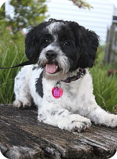 Havanese Dog for adoption in Wichita, Kansas - Cody