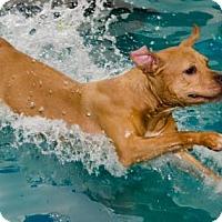Adopt A Pet :: Nina - Midlothian, VA