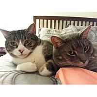 Adopt A Pet :: Maggie - Albany, NY