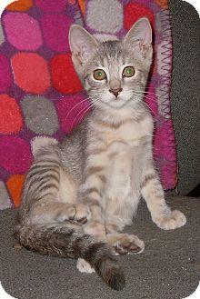 Domestic Shorthair Kitten for adoption in Creston, Iowa - Maniac