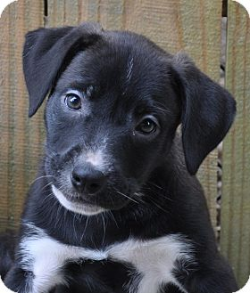 Labrador Retriever/Border Collie Mix Puppy for adoption in Hagerstown, Maryland - Raven