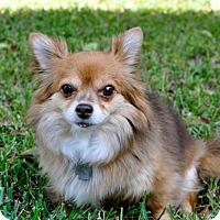 Pomeranian/Chihuahua Mix Dog for adoption in Austin, Texas - Stuart