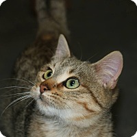 Domestic Shorthair Cat for adoption in Idaho Falls, Idaho - Birdie