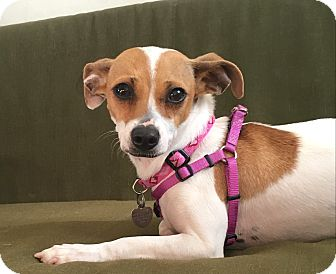 Jack Russell Terrier/Chihuahua Mix Dog for adoption in Los Angeles, California - Xena