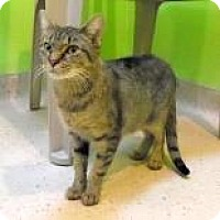 Domestic Shorthair Cat for adoption in Janesville, Wisconsin - Esme