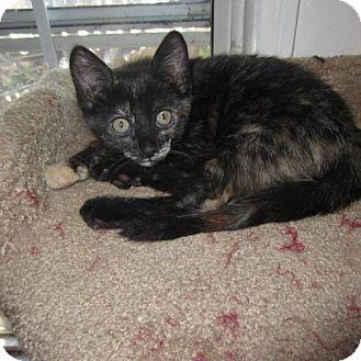 Domestic Shorthair Kitten for adoption in Long Beach, California - Emma