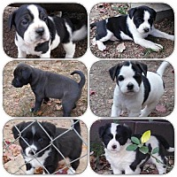 Border Collie/Labrador Retriever Mix Puppy for adoption in Alpharetta, Georgia - Bane