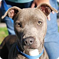 Adopt A Pet :: Juno - Sunnyvale, CA