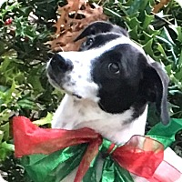 Adopt A Pet :: Noelle - Dallas, TX
