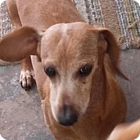 Dachshund Dog for adoption in Pearland, Texas - Annie