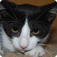 Domestic Shorthair Cat for adoption in Whittier, California - Larsen