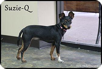 Miniature Pinscher/Chihuahua Mix Dog for adoption in Rockwall, Texas - Suzie-Q