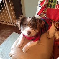 Jack Russell Terrier/Schnauzer (Miniature) Mix Dog for adoption in Jennings, Oklahoma - Suzi