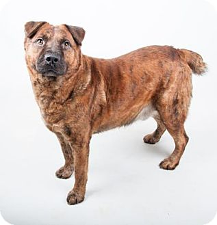 Chow Chow Mix Dog for adoption in Decatur, Georgia - Bosco