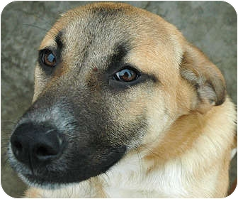 English Mastiff/German Shepherd Dog Mix Dog for adoption in Ripley ...